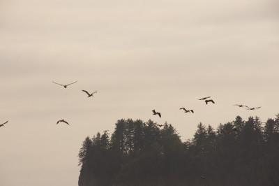 Pelicans in Flight at Rialto Beach