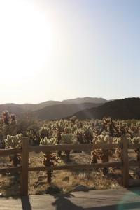Lydia Cholla Cactus Garden